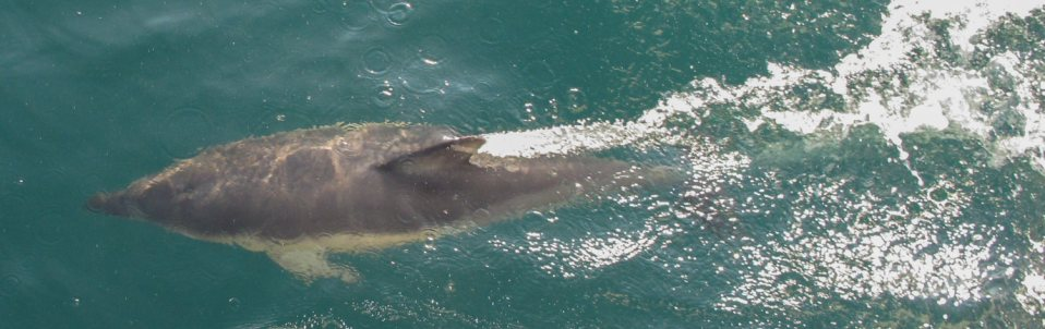 Dolphin off the bow. English Channel. 2013. Thanks to Andrew Wiltshire