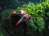 Chi Chi Star Fish